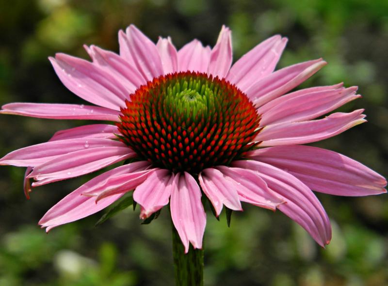 Какие цветы можно посадить под зиму - 24 многолетника-Эхинацея