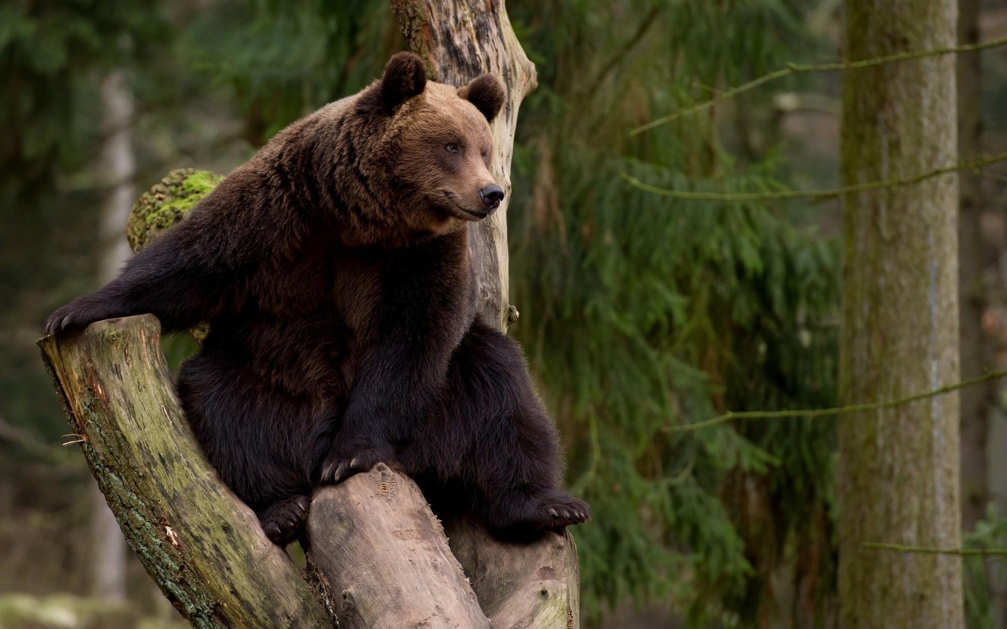 медведь взобрался на дерево