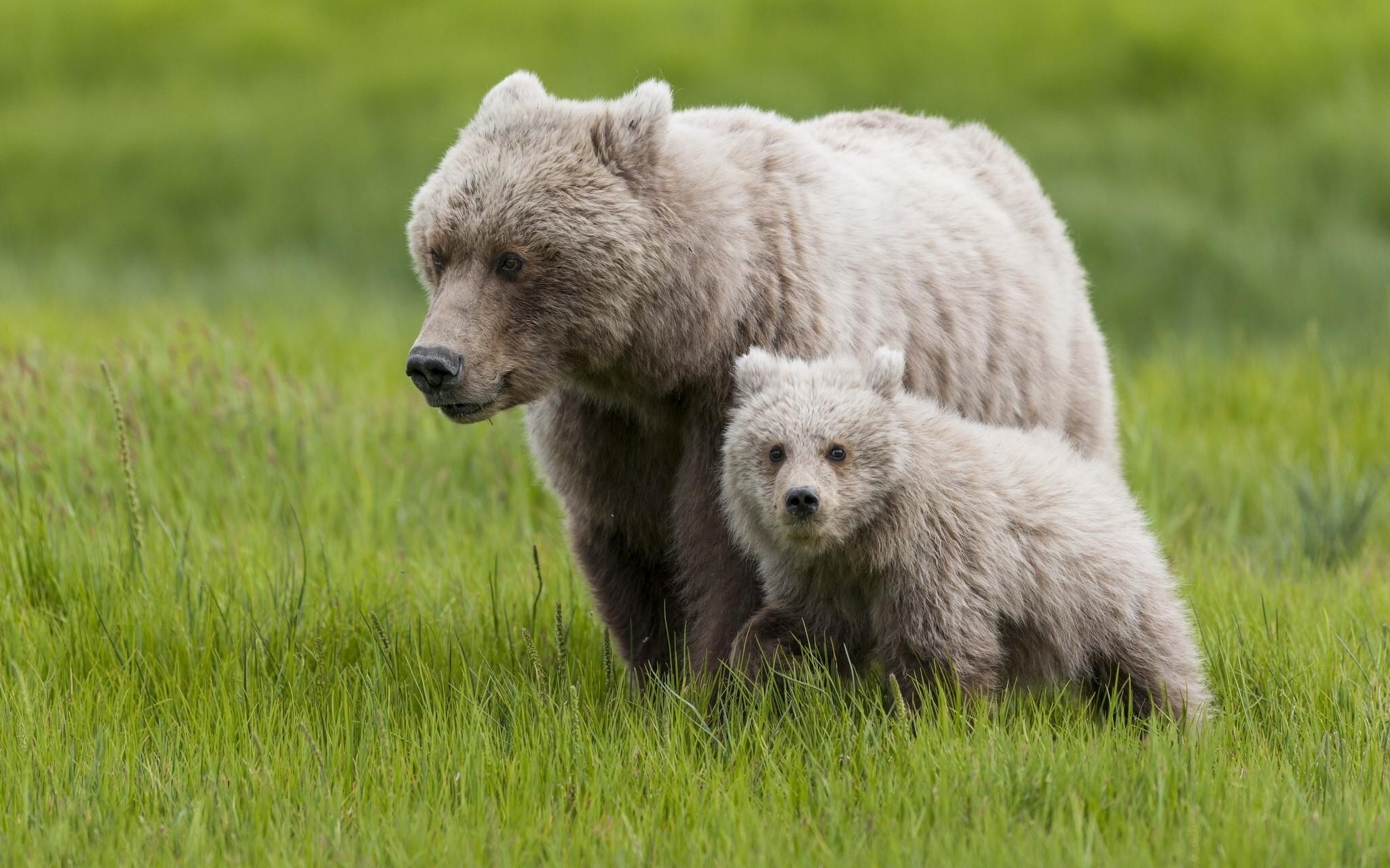медведица с медвежонком в поле