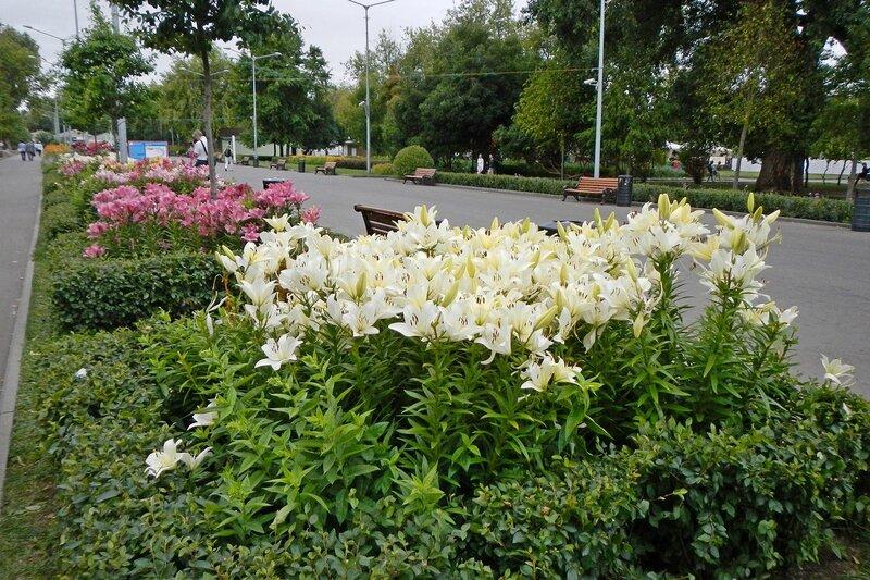 лилии на клумбах вдоль центральной аллеи в парке им. Горького