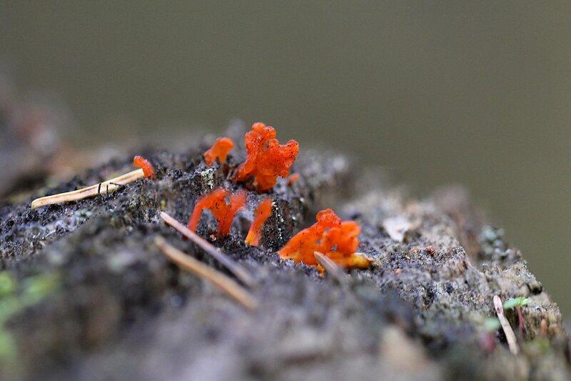 Макропейзаж на лесном пне: оранжевый гриб-дрожжалка среди опавшей хвои