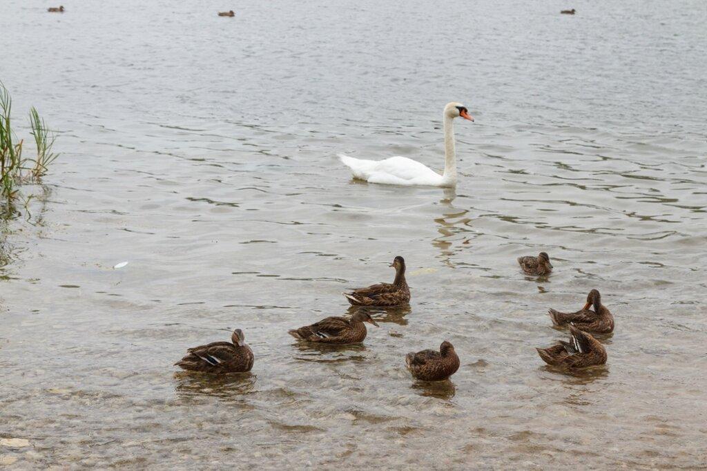 Утки и лебедь в Городищенском озере, Изборск