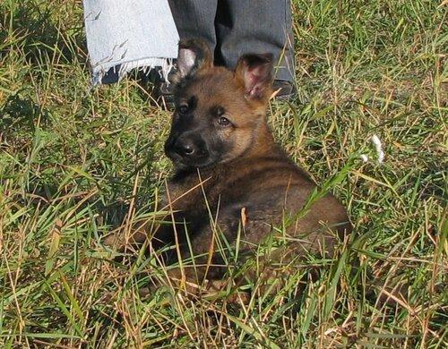 Родились щенки от Charly v. Rio Negro и Lola iz Peschanki 0_eaa54_f725ec44_L