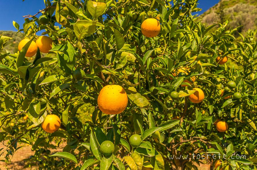 Сладкие критские апельсины | Sweet Cretan oranges