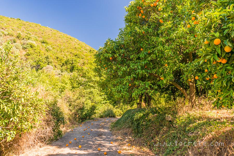 Апельсиновый сад на Крите | Orange garden in Crete