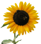 Sunflower1_10.08.2013.png