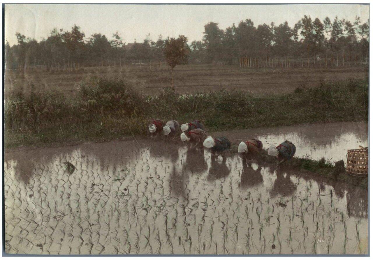 На рисовой плантации
