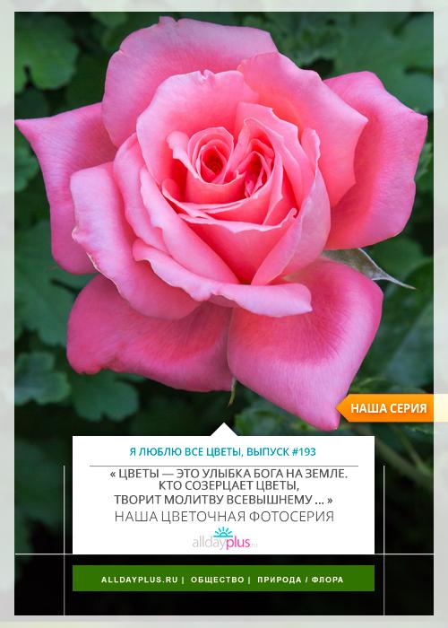 Я люблю все цветы, выпуск 193 | Роза - «Королева цветов».