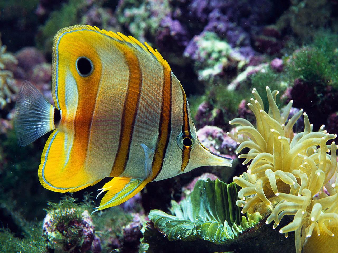 тропическая рыбка-бабочка, под водой