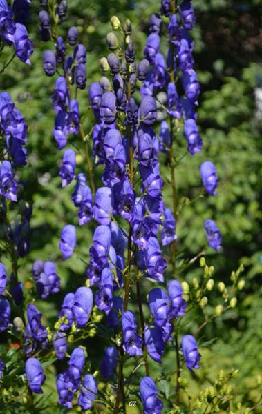 Какие цветы можно посадить под зиму - 24 многолетника-Аконит