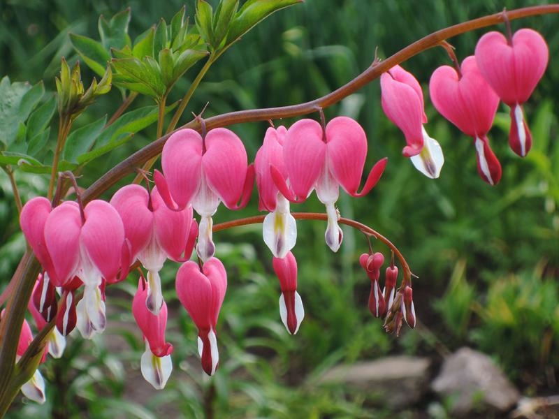 Какие цветы можно посадить под зиму - 24 многолетника-Дицентра или разбитое сердце