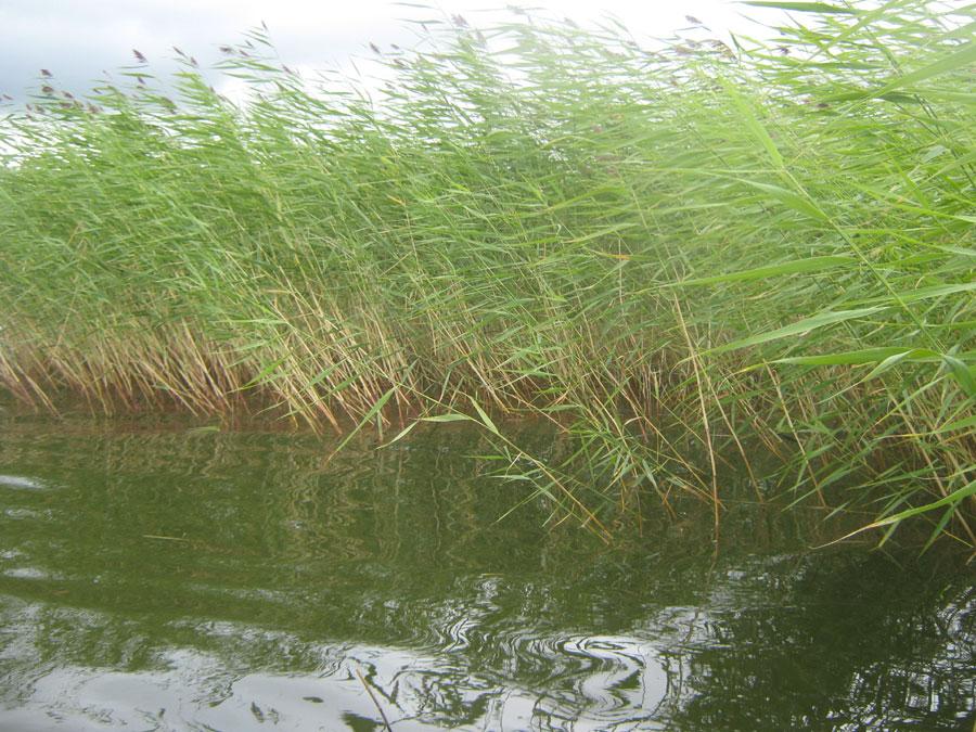Озерный тростник наСагиштах (25.02.2015)