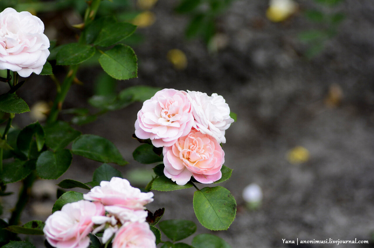Парковые розы в Гомеле