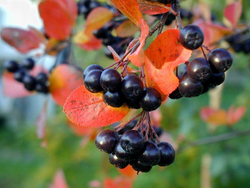 выращивание черноплодной рябины