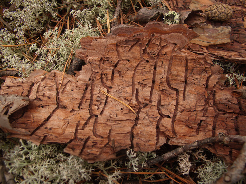 Лабиринты жука-короеда