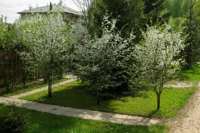 Цветущие деревья в Поседкино