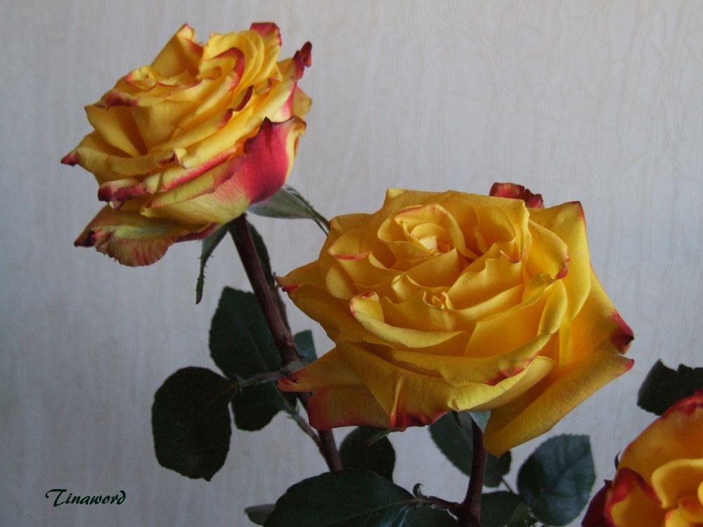 розы-9.jpg