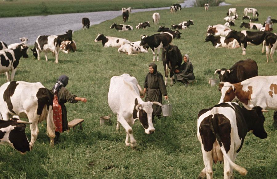 Холмогорские коровы 11 900.jpg