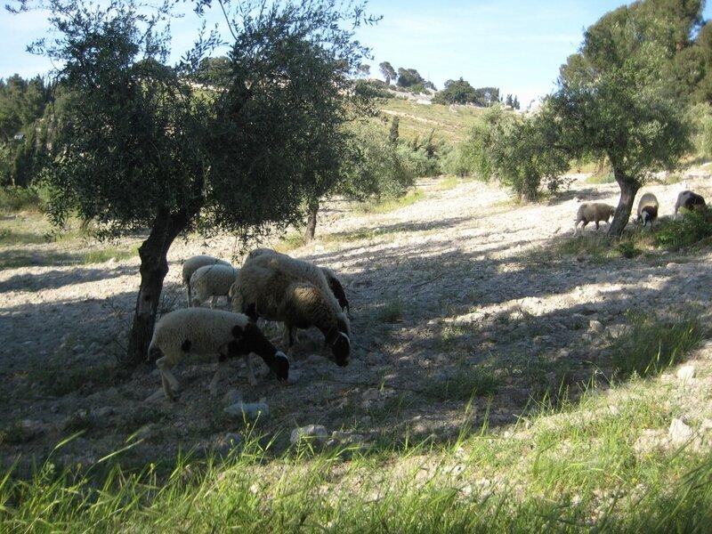 Масличная гора овечки.JPG