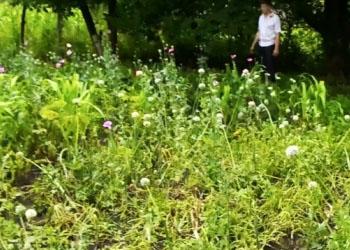 В Дондюшанах мужчина выращивал мак в кукурузном поле