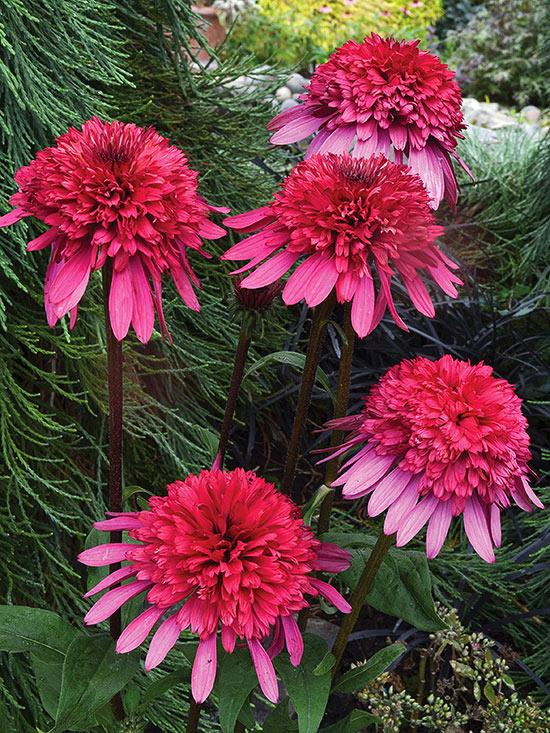 Многолетние цветы, переносящие жару-Эхинацея