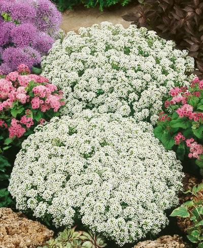Какие цветы можно посадить под зиму - 20 однолетников