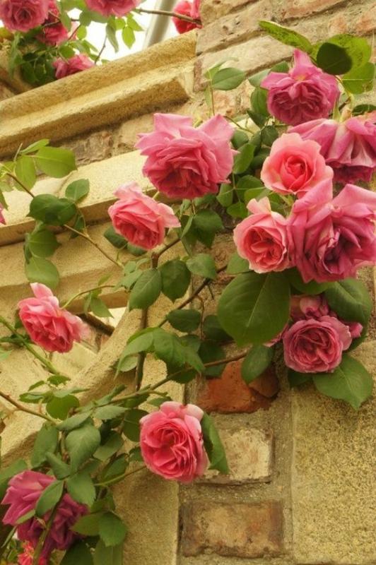 Сентябрь - основные работы в сентябре-Розы