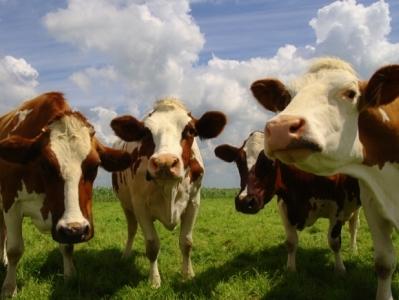 травмы коров