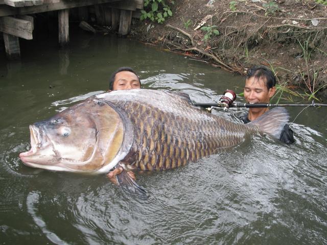 Карп — очень крупная всеядная рыба. Этот вид обитает чуть ли не во всех пресноводных ставках, водохр
