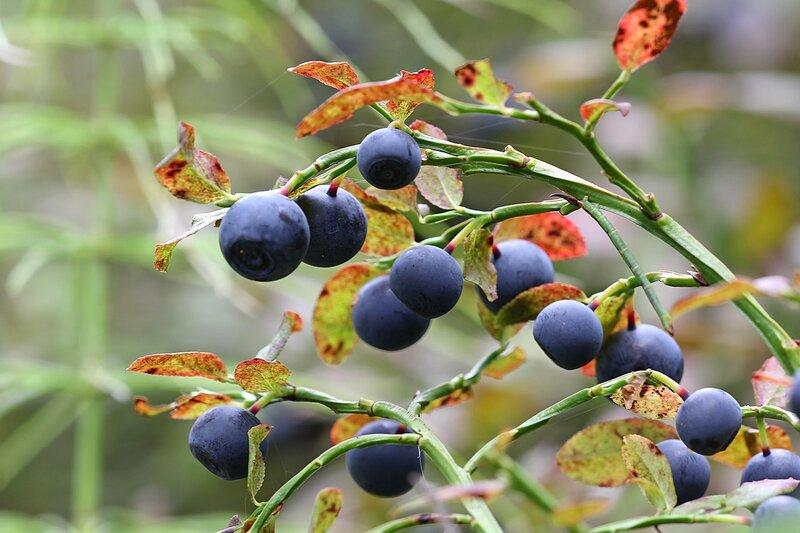 Обильные фиолетовые ягоды на кусте черники (Vaccinium myrtillus)