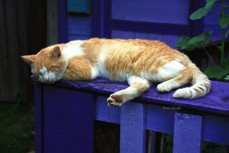 фиолетовая калитка и рыжий кот