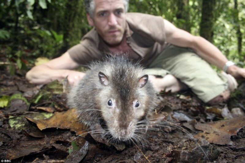 Столицу Ирана атакуют крысы размером с кошку