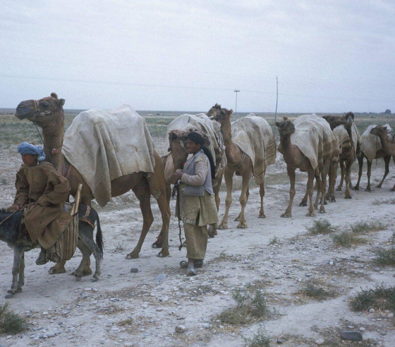 Караван верблюдов в пути