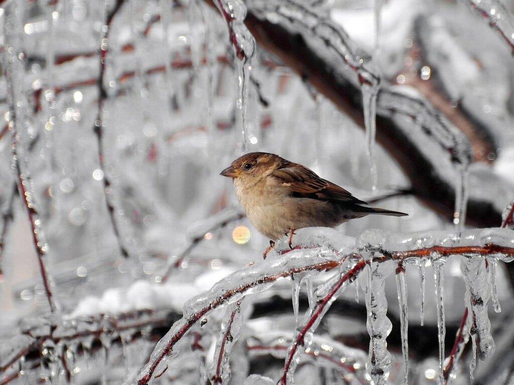 1600x1200_animals-winter-sparrow-frost-vetki-zhivotnyie-ice.jpg