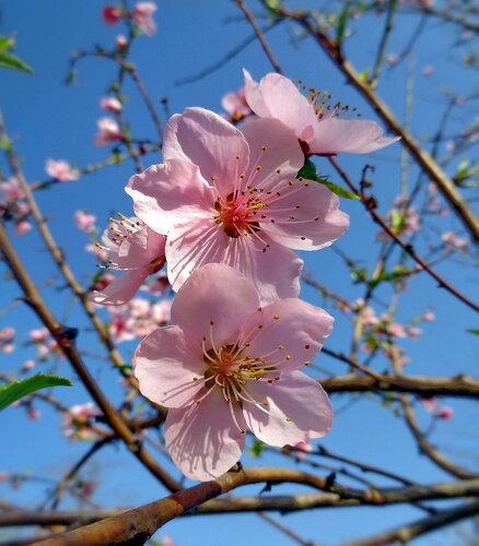 Цветы персика