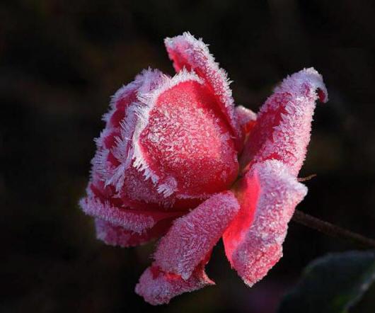 іній на троянді