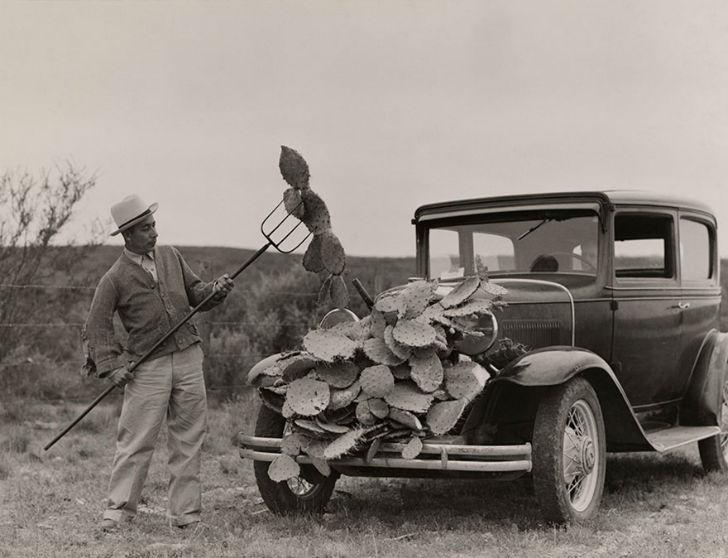Мужчина собирает опунцию для кормления скота во время засухи в Техасе.