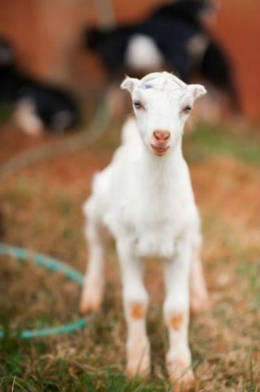 А на американскую ферму Caromont Farms в Вирджинии срочно требуются волонтеры, чтобы обнимать малень