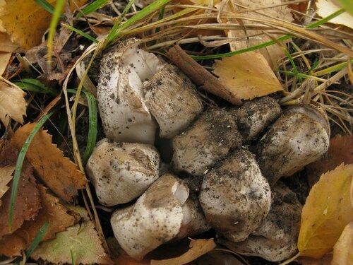 Навозник серый (Coprinopsis atramentaria) Автор фото: Станислав Кривошеев