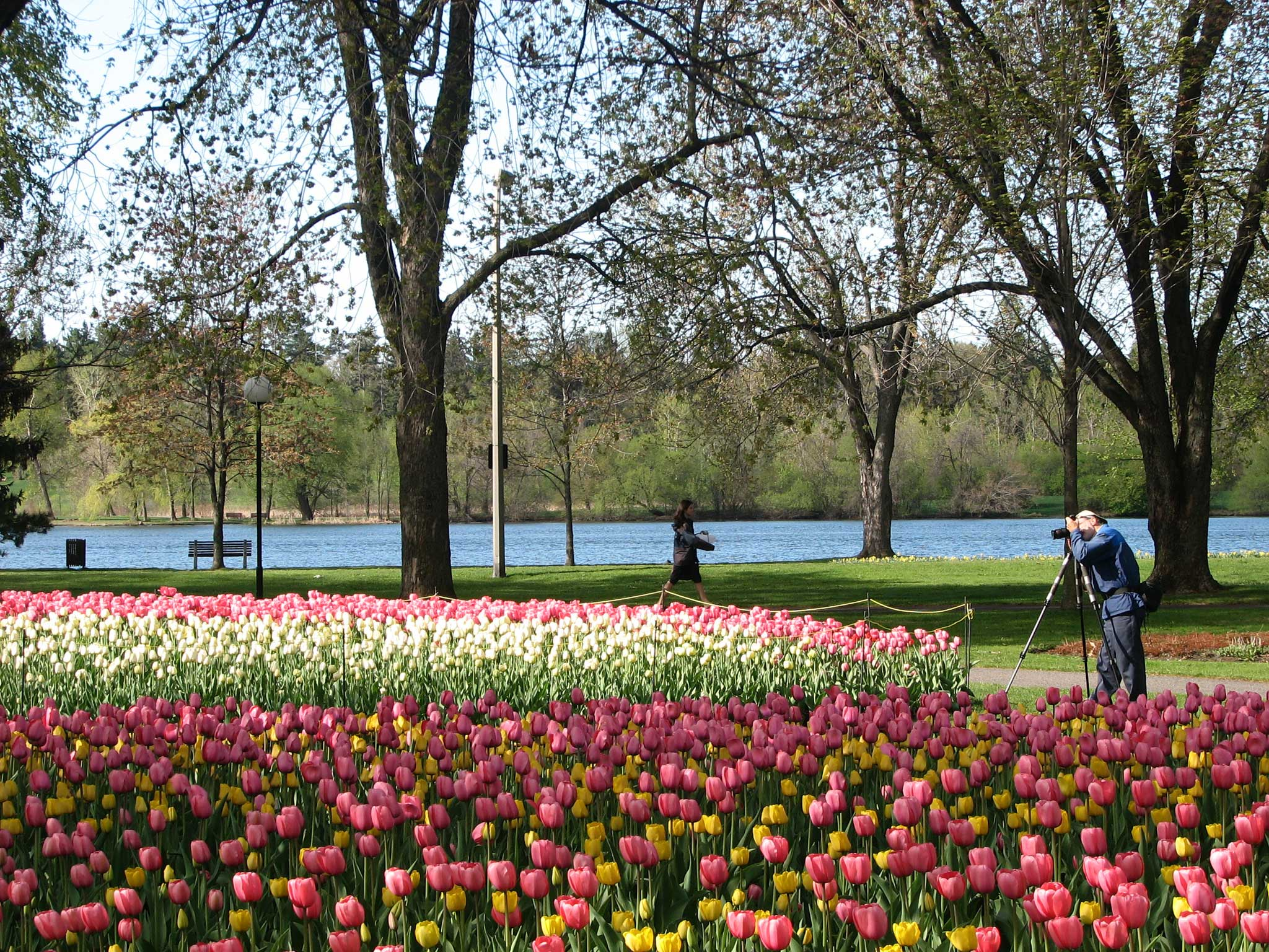 Dow's Lake Tulips wallpaper