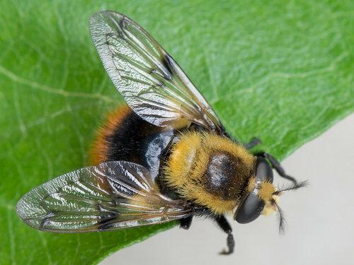 Альбом:  Мир под ногами/  Двукрылые - Diptera / Syrphidae - Журчалки Syrphidae: Eristalinae Автор фото: Владимир Брюхов