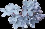 сирень цветы (17).png
