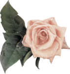MagicalReality_VinMem1_pink rose with leaves.png