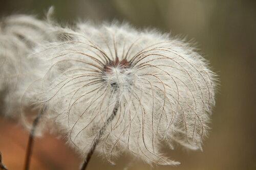 Семена княжика сибирского. Фотография сделана у Кырманских скал, около станции Аять (Свердловская область). Автор - Мария Малинина