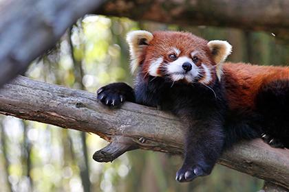 В Московском зоопарке скоро поселится красная панда