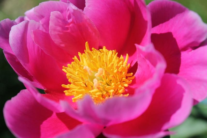 Фотоальбом «Лучшее из сада»-пион