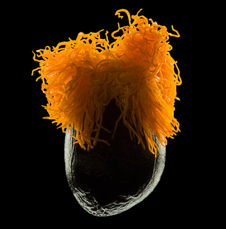 5. Семя райской птицы (увеличение х10). Фото сделано в Институте патофизиологии в Праге. (VIKTOR SYK
