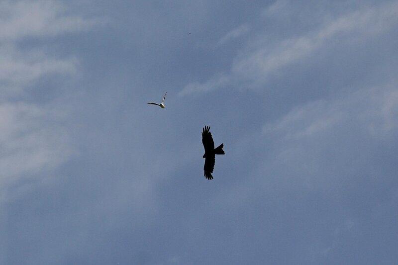 Чайка гоняет черного коршуна (Milvus migrans) над прудами и терриконами Кирово-Чепецкого химзавода