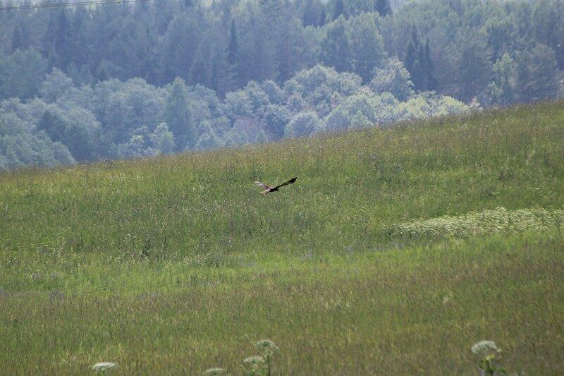 Хищная птица над луговыми просторами