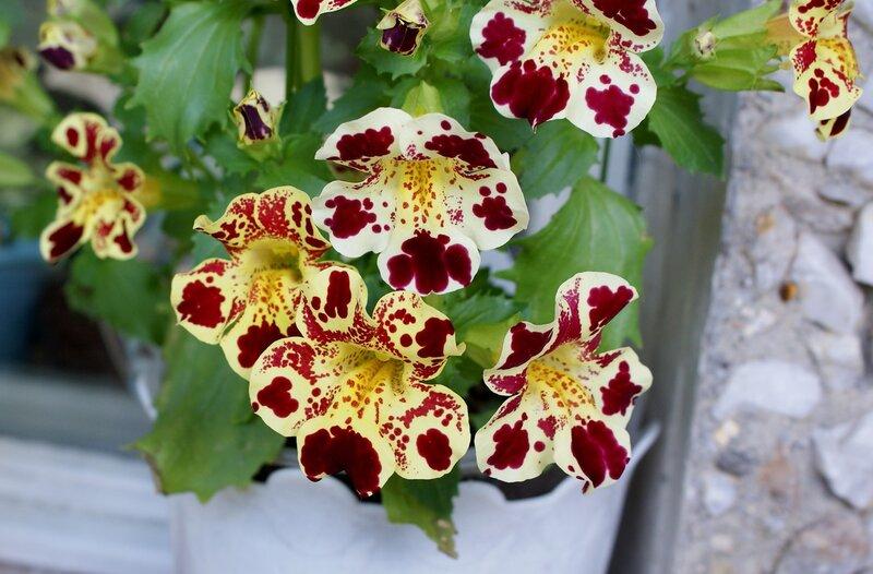 Яркие цветки губастика